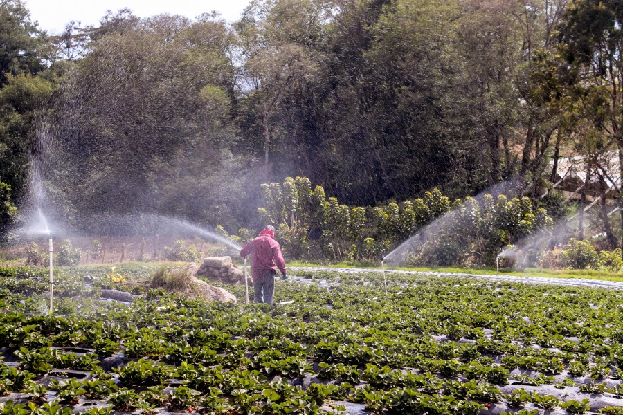 A farm hand working with the sprinkler system in the strawberry field.
